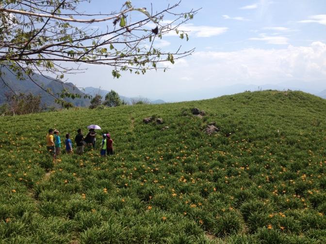 花蓮金針花之旅 每年8月1號至30號登場